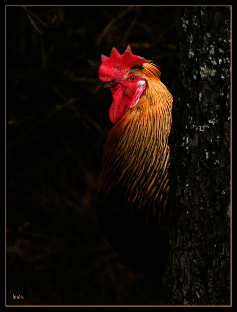 When the rooster...