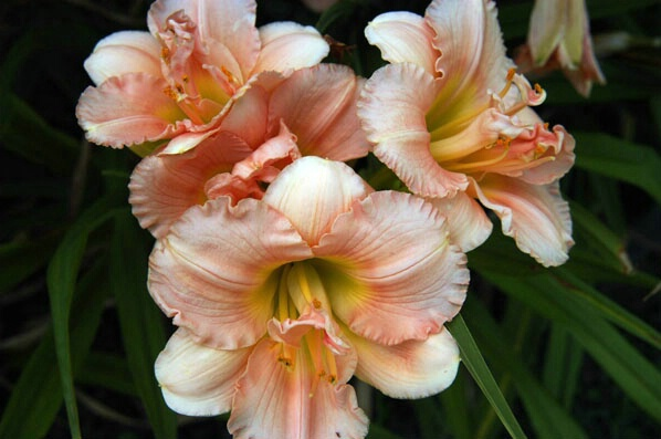 Pink Lily - ID: 143832 © GARY  L. ROHRBAUGH