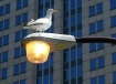 City Seagull