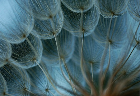 Dandelion Blues