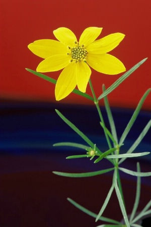 One Coreopsis