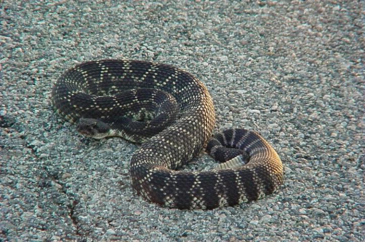 Rattle snake 5