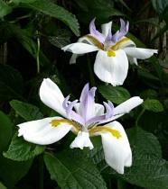 Butterfly Iris Duo