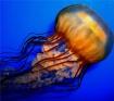Jellyfish Ballet