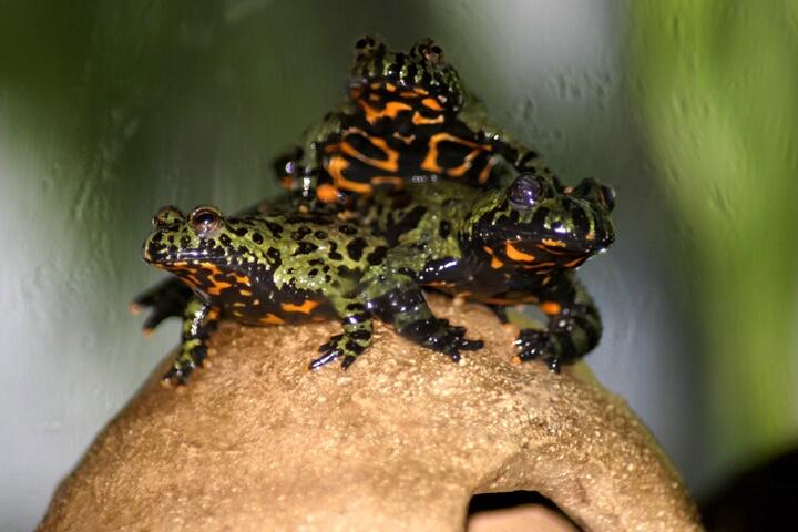 Three Toad Pileup - ID: 158786 © Rhonda Maurer