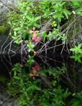 Teaberry on Lake Groton