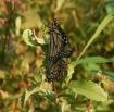 """""""Mating Monar..."""
