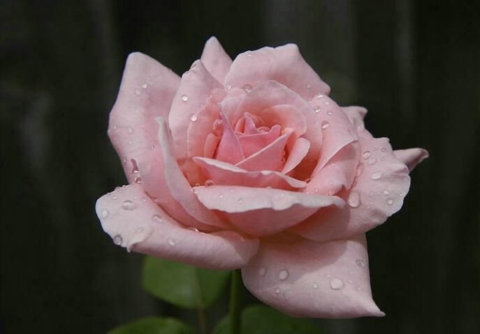 Rose Perfect