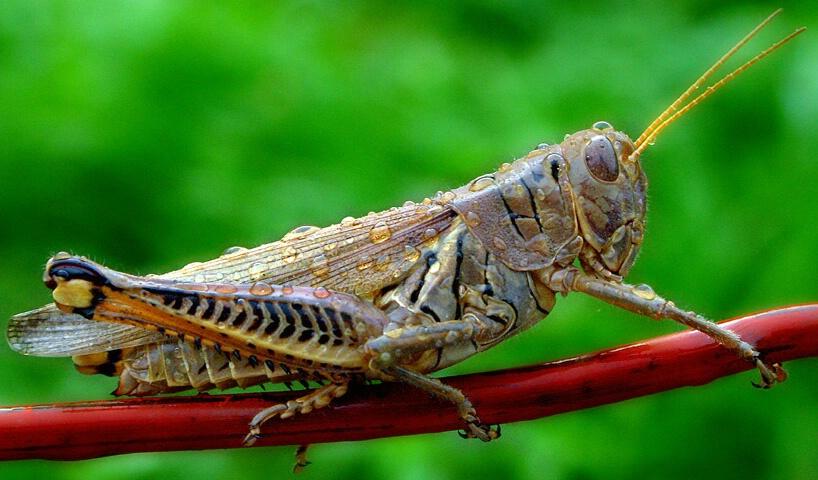 Wet Grasshopper