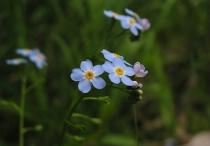 More blue wildflowers
