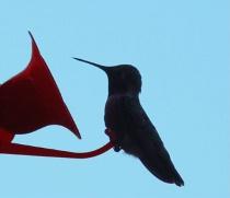 Hummingbird Shilouette