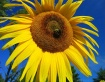 """Sunflower..."