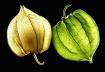 Backlit fruits 1