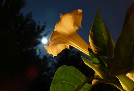 Midnight Moon Flower