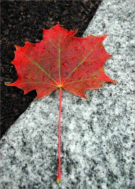 Maple Leaf II