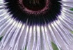 Passion Flower Sh...