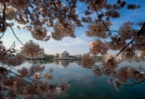 Jefferson Memorial & Cherry Blossoms 4