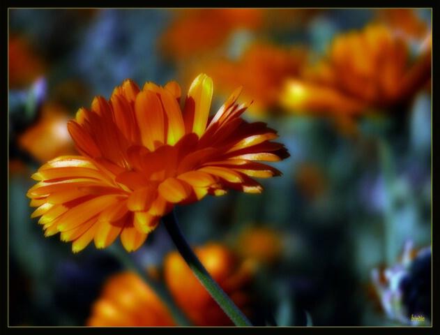 Calendula softness