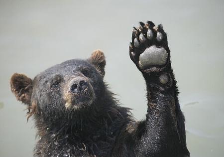 Canadian Brown Bear at Marineland