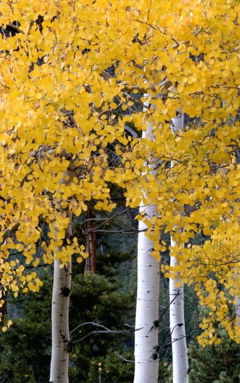 Rocky Mountain National Park Aspens - ID: 204017 © Sandy Conley