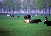 Lounging Cows
