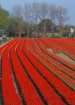 Tulip Rows and Du...