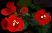 Rose Red Bourgainvilla