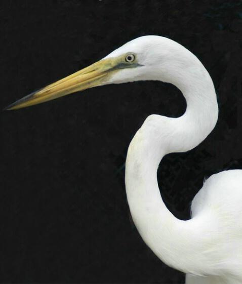 Heron Closeup