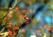 Skyberries