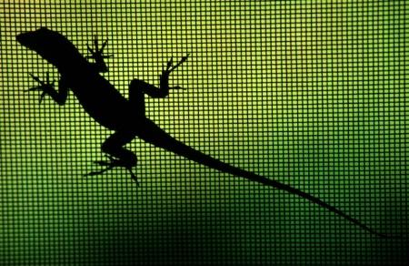 Lizard in my Window (Cuban Anole)