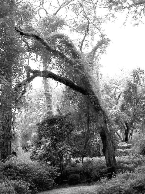 Trees of St Simons