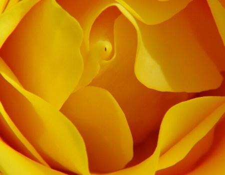 A Yellow Rose Heart