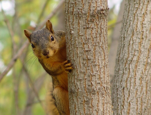 A Squirrel Finds A Giant Nut
