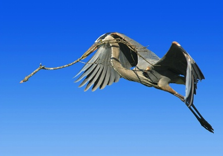Heron Brings Twig