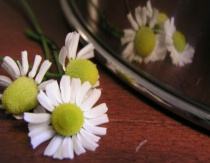 Chamomile Reflection in Mixing bowl