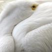 Peeking Pelican