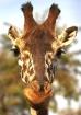 Italian Giraffe :...