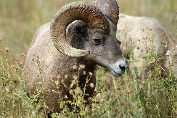 Bighorn sheep - ID: 229061 © GARY  L. ROHRBAUGH