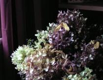 Hydrangeas near the window