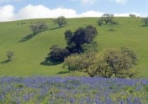 California Springtime Calendar - Lupine and Oaks