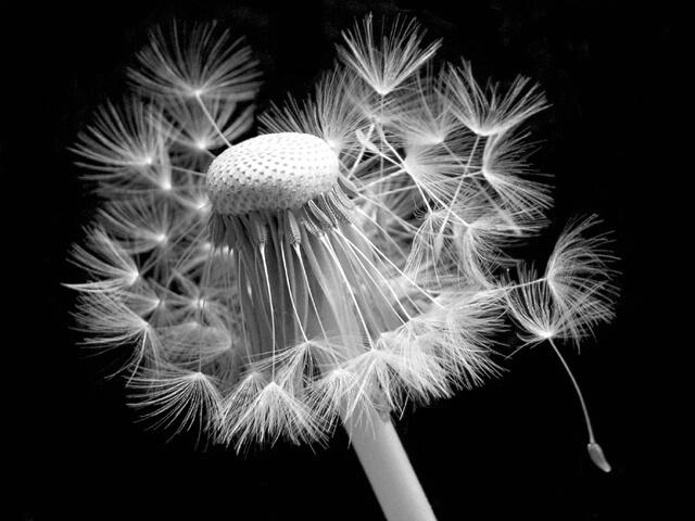 Incredible Dandelion I