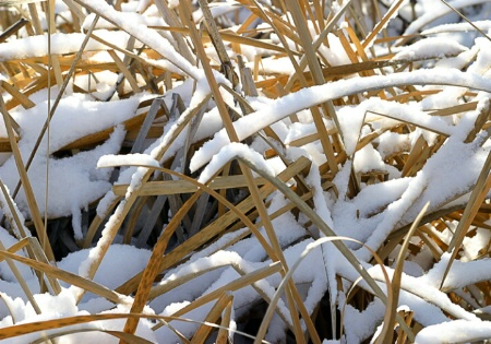 Snow and Sunlight on Cattails
