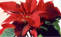 merry christmas a