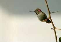 Hummingbird on Bougainvillea