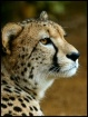 Winter Cheetah