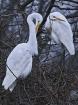 Egrets 01/03/2004