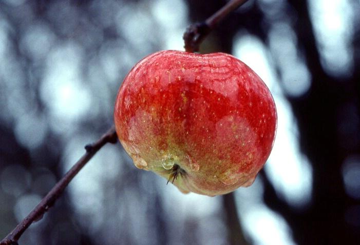 Winter Apple - ID: 262039 © Jim Kinnunen