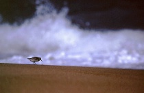 shorebird in danger :-)