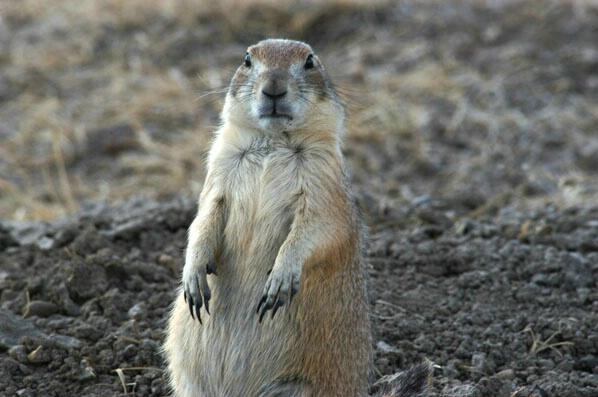 Prairie Dog Town - ID: 264923 © GARY  L. ROHRBAUGH