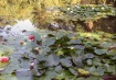 Water Lily Pond a...